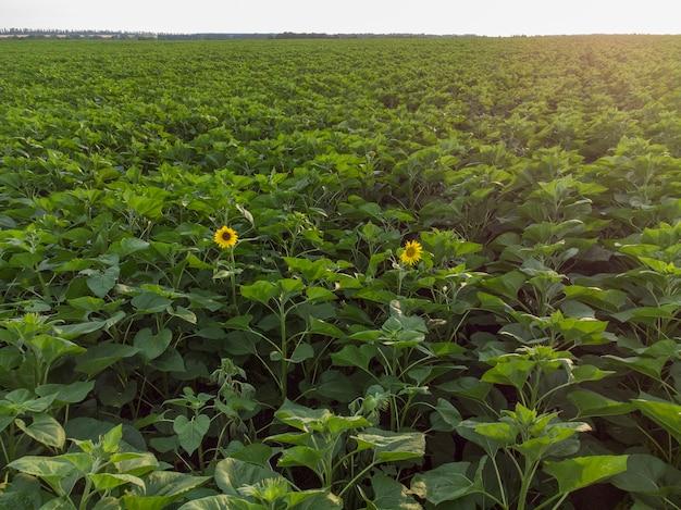 Dwa słonecznikowe kwiaty na zielonym polu.