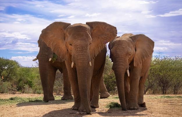 Dwa słonie afrykańskie bush na użytkach zielonych parku narodowego etosha, namibia. afryka