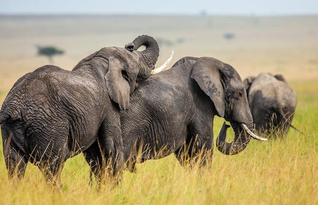 Dwa słonie bawią się ze sobą na sawannie.