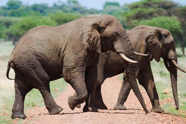 Dwa słonie w savannah.