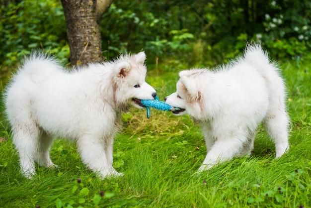 Dwa śmieszne puszyste białe psy samoyed bawiące się na zielonej trawie