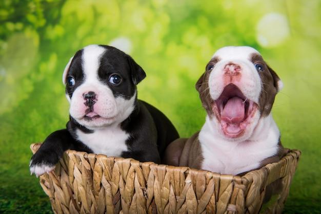 Dwa śmieszne szczeniaki american bullies na zielonym tle