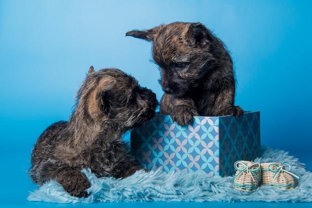 Dwa śmieszne szczenięta cairn terrier psy z pręgowaną sierścią całują się w pudełku na białym tle na niebieskiej ścianie