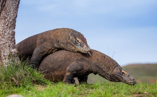 Dwa smoki z komodo walczą ze sobą. bardzo rzadki obraz. indonezja. park narodowy komodo.