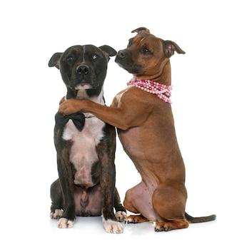 Dwa staffordshire bull terrier
