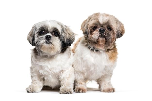 Dwa stojącego psa shih-tzu, na białym tle