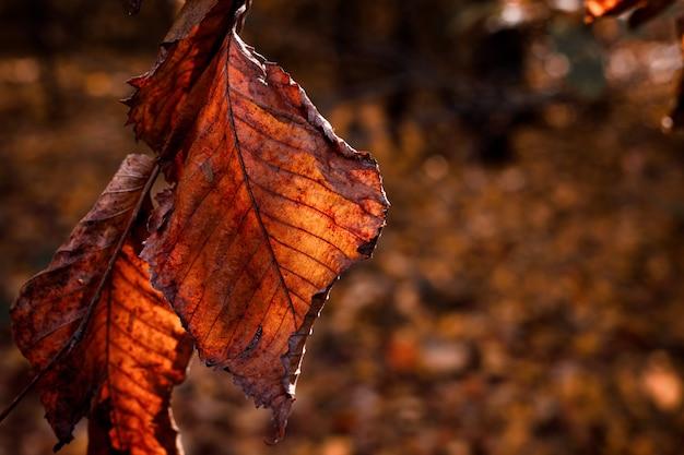 Dwa suche liście olchy na gałęzi w świetle słońca piękne niewyraźne jesienne tło
