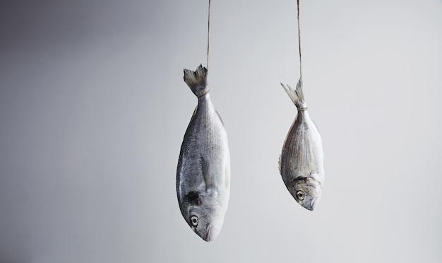 Dwa świeże dorady morskie powieszone za ogon na linie