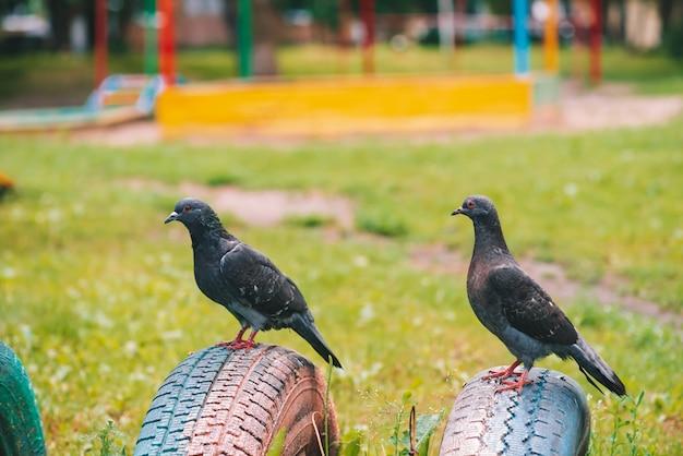 Dwa szarego gołębia są na ogrodzeniu na kolorowym placu zabaw w słoneczny dzień. ptaki miasta z bliska. szaro-czarne latające zwierzęta na szermierce.