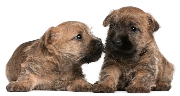 Dwa szczeniaki cairn terrier, 6 tygodni