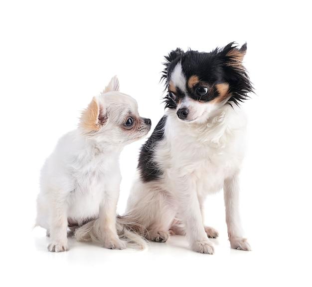 Dwa szczeniaki chihuahua z długimi włosami na białym tle
