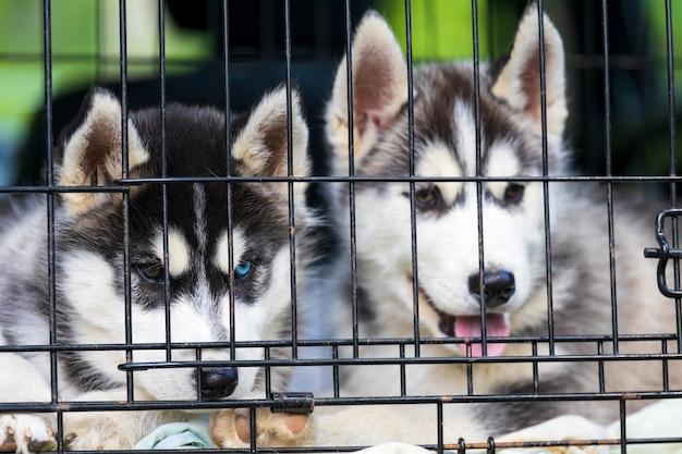 Dwa szczeniaki husky siedzą w klatce. zdjęcie wysokiej jakości