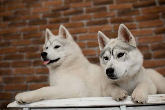 Dwa szczeniaki husky syberyjskie w domu siedzą i bawią się. styl życia z psem