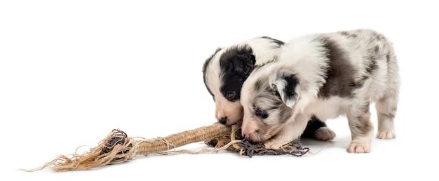 Dwa szczeniaki mieszaniec bawiące się liną na białym tle