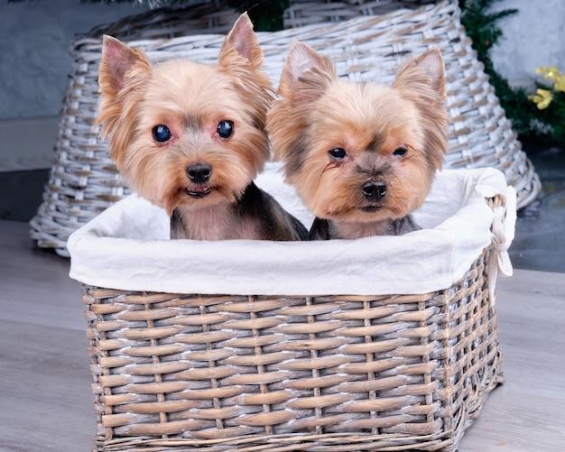 Dwa szczenięta yorkshire terrier w koszyku z rattanu.