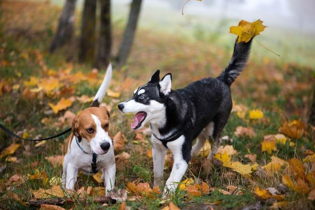 Dwa szczęśliwe psy beagle i siberian husky bawią się w jesiennym parku