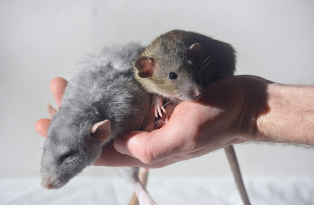 Dwa szczury na dłoni mężczyzny na białym tle