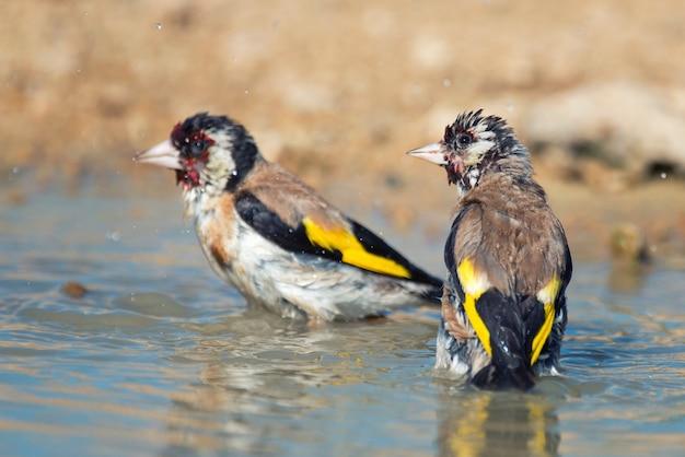 Dwa szczygieł, carduelis carduelis, stojący w wodzie.
