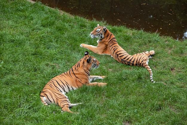 Dwa tygrysy bengalskie leżą na zielonej trawie obok stawu i patrzą w różne strony.