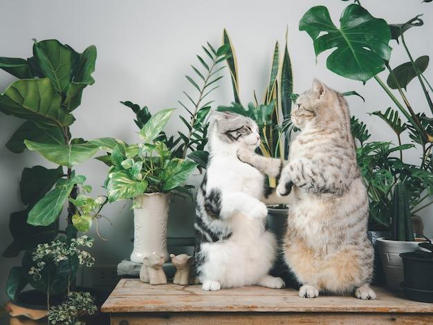 Dwa urocze szczęśliwe koty stojące na drewnianym stole w białym wnętrzu z rośliną doniczkową, monstera, filodendron, ficus lyrata, roślina węża i betel plamisty w doniczce