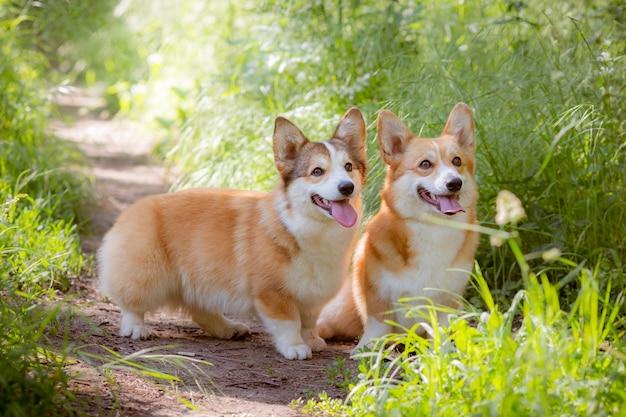Dwa walijskie psy corgi na trawie