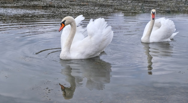 Dwa wdzięczne białe łabędzie pływają w małym stawie jesienią