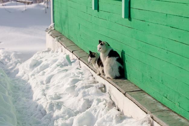 Dwa wiejskie koty siedzą i patrzą w pobliżu domu w zimie
