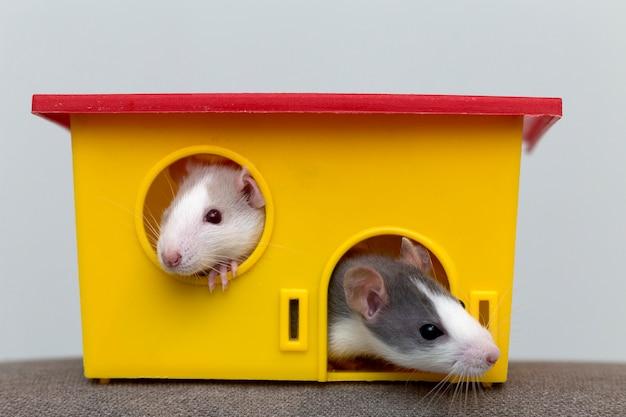 Dwa zabawne białe i szare oswojone ciekawe chomiki z błyszczącymi oczami, patrząc z jasnożółtego okna klatki. utrzymywanie przyjaciół domowych w domu, opieka i miłość do zwierząt.