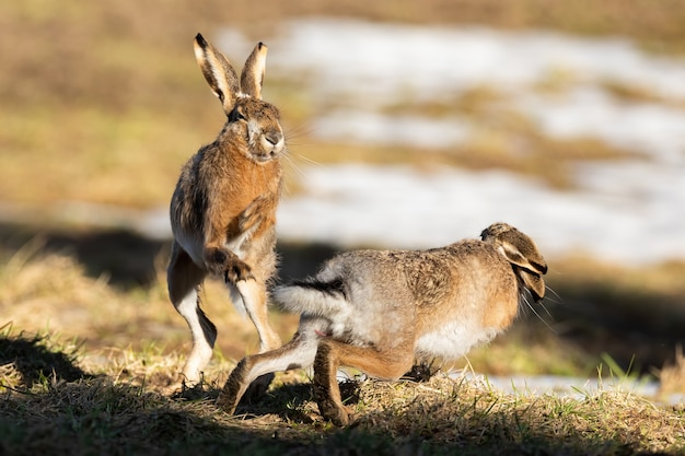 Dwa zające brunatne walczące na polu w wiosennej przyrodzie