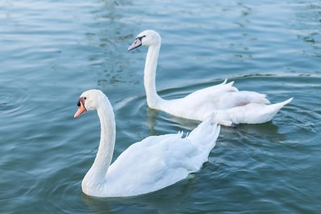 Dwa zakochane białe łabędzie pływające po jeziorze