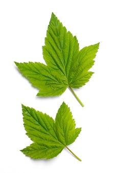Dwa zielone liście jasnej porzeczki na białym tle na białym tle