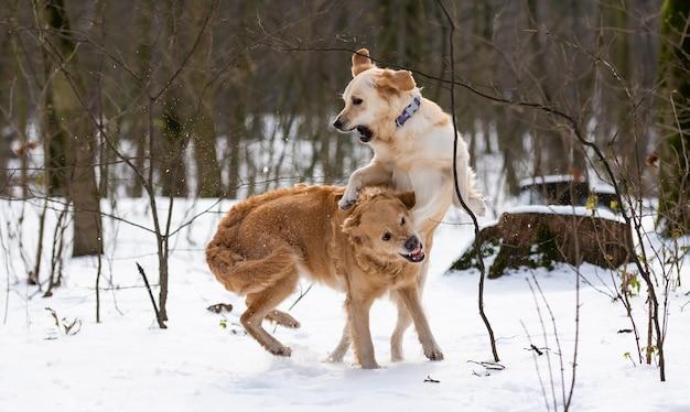 Dwa złote psy rasy golden retriever wspólnie skaczą i pokazują zęby podczas zimowego spaceru po śniegu