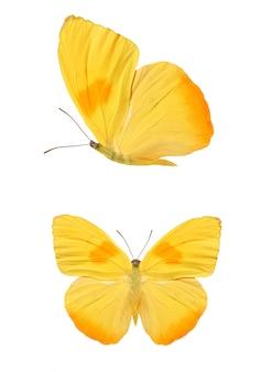 Dwa żółte motyle na białym tle. zdjęcie wysokiej jakości