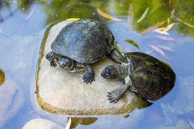 Dwa żółwie na kamieniu w rzece nagrzewają się na słońcu
