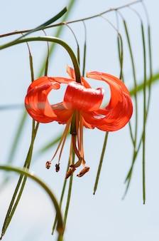 Dwarf lily, lilium pumilum delile