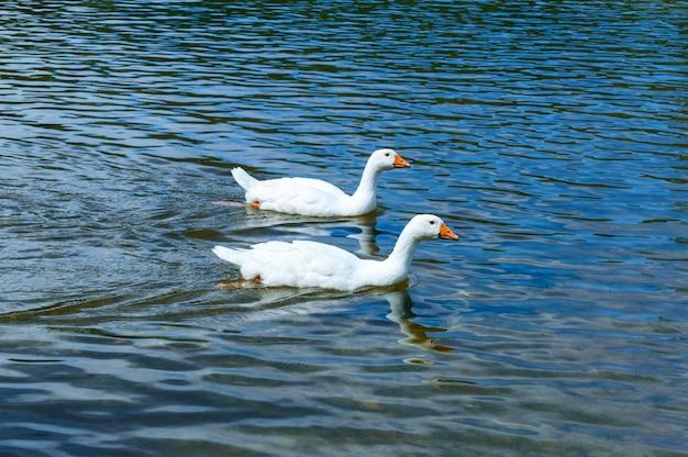 Dwie białe gęsi pływające na wodzie.