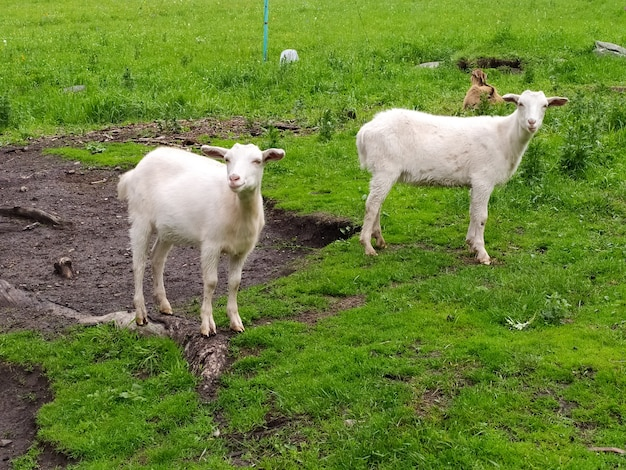 Dwie białe kozy rozrzucone latem na zielonej trawie. zdjęcie mobilne.