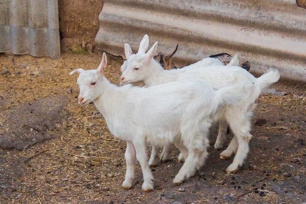 Dwie białe kozy w hodowli zwierząt