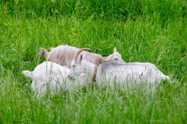 Dwie białe kozy z dzieckiem w polu na trawie. zdjęcie wysokiej jakości