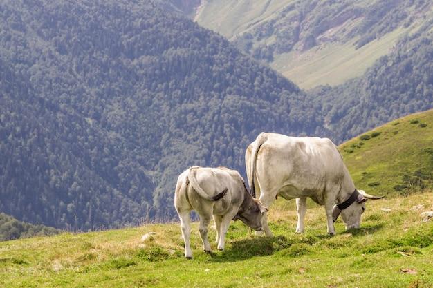 Dwie białe krowy pasące się w górach