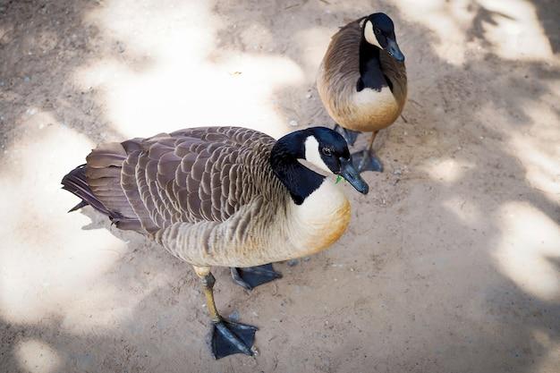 Dwie brązowe kaczki chodzą po ziemi