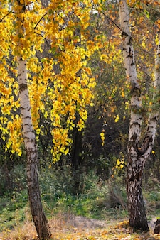 Dwie brzozy z pięknymi lśniącymi żółtymi liśćmi przez słońce w złotą jesień