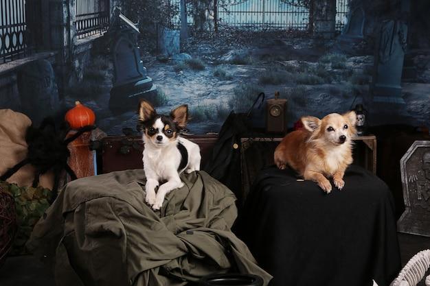 Dwie chihuahua w scenerii nocy halloween ze szkieletem