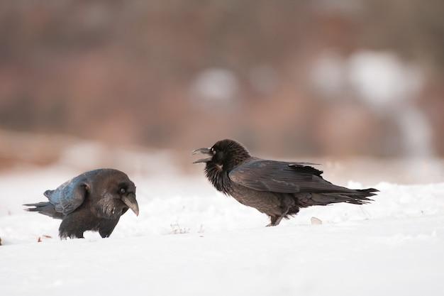 Dwie czarne wrony w zimowym siedlisku corvus corax.