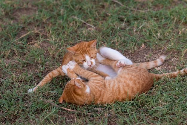 Dwie czerwone kocięta grają