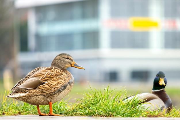 Dwie dzikie kaczki spaceru w parku latem.