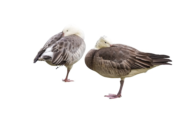 Dwie gęsi stoją na jednej nodze i chowają głowy pod skrzydłami na białym tle
