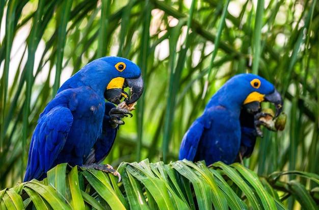 Dwie hiacyntowe ary siedzą na palmie i jedzą orzechy