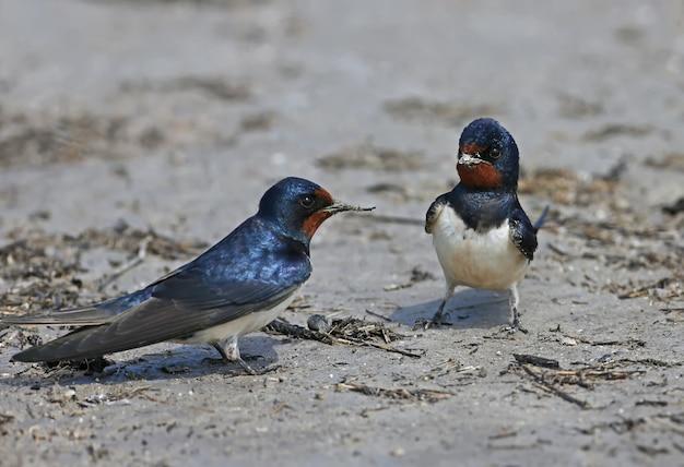 Dwie jaskółki płomykówki zbierają na brzegu rzeki materiał do budowy przyszłego gniazda.