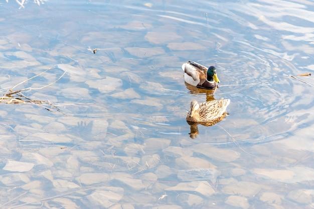 Dwie kaczki krzyżówki pływają w rzece.